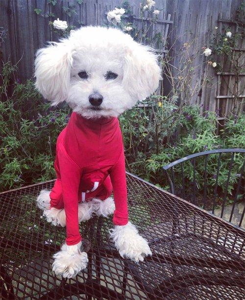 Смешные и очаровательные собаки в забавных боди Приколы,необычное,одежда,смешно,собаки