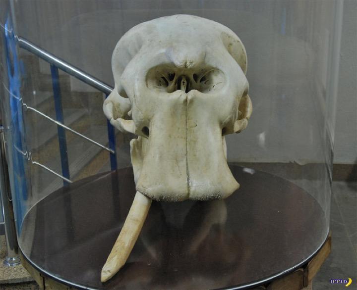 Слона все видели, а череп слона? Интересное