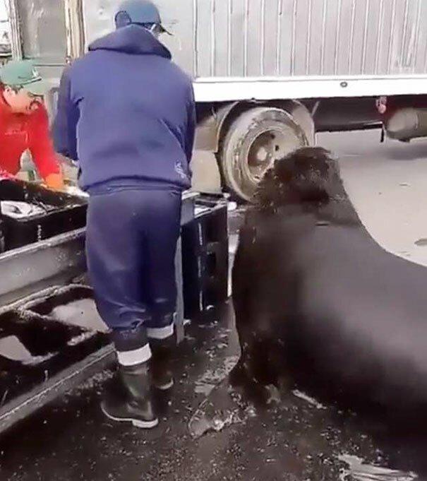 Морской лев пришел на рыбный рынок и попросил угощения   Интересное