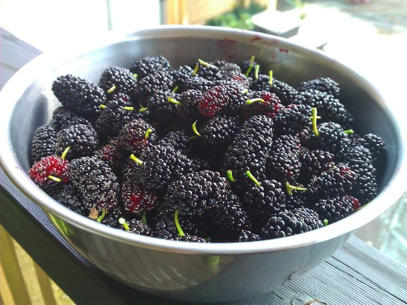 Где растет шелковица, польза и вред ягод тутовника деревья,кухонька,полезные советы,польза и вред,шелковица