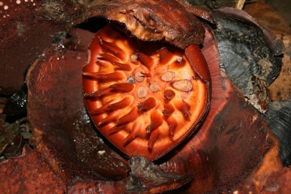 Раффлезия: Огромный, наглый и вонючий цветок наука,природа,растения,раффлезия