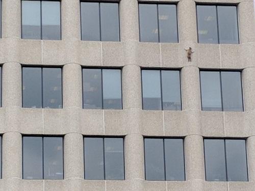 Енот совершил прыжок веры с 9 этажа, возомнив себя ассасином зверушки,живность,питомцы,Животные